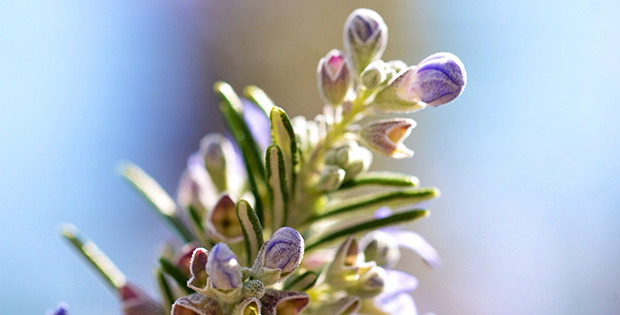 Rosemary to boost brain power and memory
