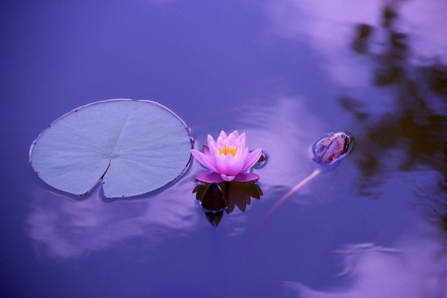 Waterlily floating on a lake